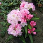 Rhododendron Ken Janek